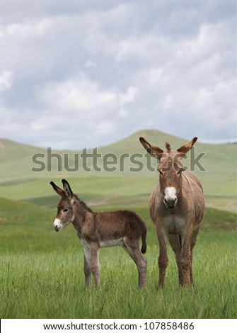 Wild Burros, mother and baby in the Black Hills region of South Dakota - stock photo