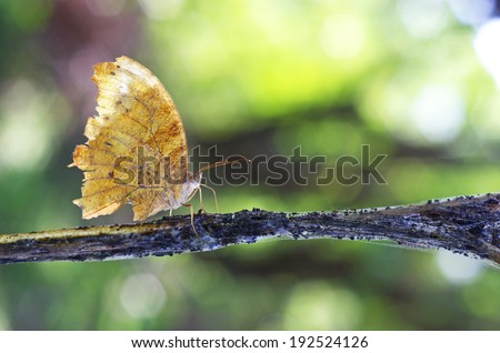 wild butterfly is resting on the weed branch in the tropical rain forest - stock photo