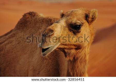 Wild camel in the desert of UAE - stock photo