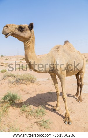 wild camel in the hot dry middle eastern desert uae