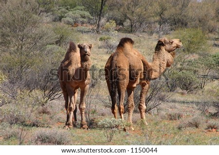 wild camels - stock photo
