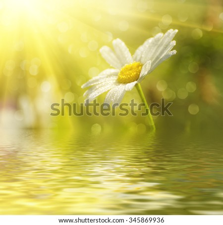 Wild camomile flowers growing on green meadow, macro image with sunlight and water reflection - stock photo