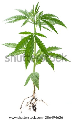 Wild Cannabis plant. Isolated on a white background. - stock photo