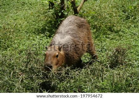 Wild capybara shot in Venezuela - stock photo