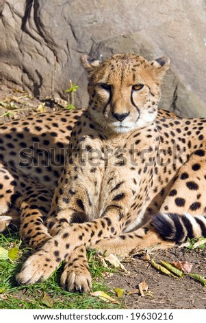 Wild cat a cheetah taking place in a zoo