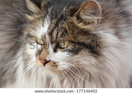 wild cat, face - stock photo