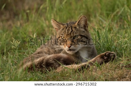 Wild cat in grass. Felis silvestris.