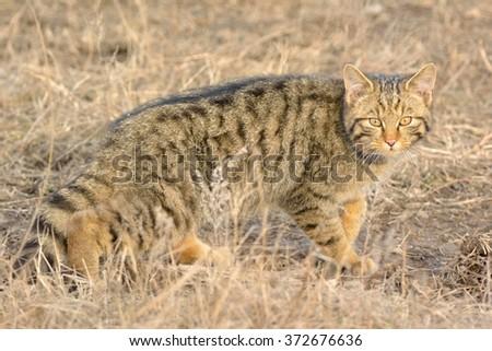 Wild Cat in nature - stock photo