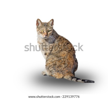 wild cat isolated on white background - stock photo