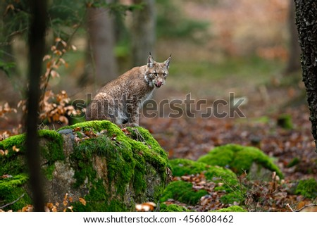 Wild cat Lynx in the nature forest habitat. Eurasian Lynx in the forest, birch and pine forest. Lynx lying on the green moss stone. Cute lynx, wildlife scene from nature, Germany - stock photo