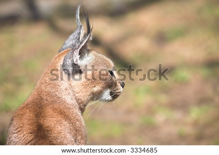 wild cat portrait. caracal photo close up - stock photo