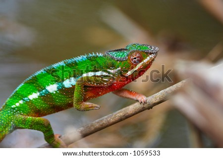 Wild chameleon walking, Madagascar