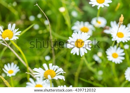 Wild chamomile flowers blooming on wild meadow at summer. Close up of wild flowers. - stock photo