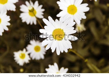 wild chamomile flowers on a meadow on a sunny day. shallow depth of field - stock photo