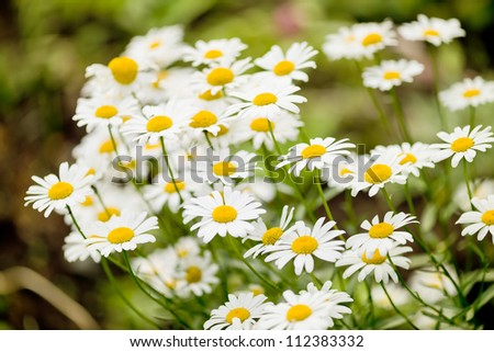 Wild chamomile on a meadow. - stock photo