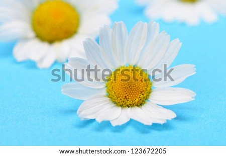 Wild chamomile. White flowers on a dark blue background