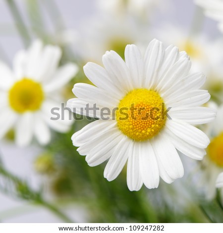 Wild chamomile. White flowers. Selective focus. Bokeh - stock photo