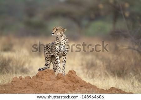 Wild cheetah on termite mound - stock photo