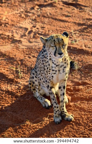 Wild Cheetah portrait In African Savannah at sunset time, Namibia - stock photo