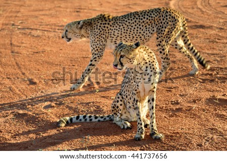Wild Cheetahs In the Kalahari desert at sunset. African Savannah, Namibia. Warm evening light - stock photo