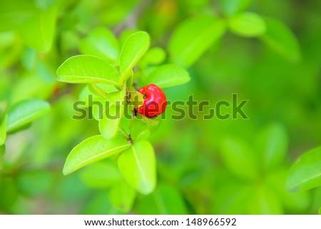 Wild cherry  - stock photo