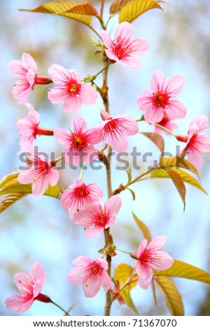 wild cherry flower,Cherry Blossom at khunsathan national park of nan province , Thailand - stock photo