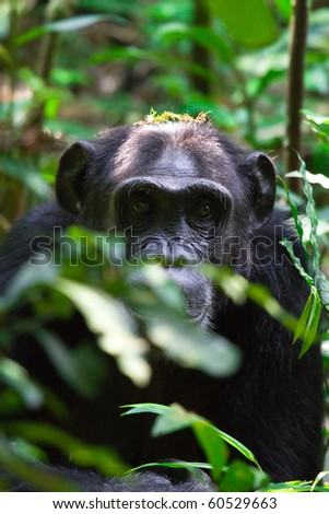 wild chimpanzees in Kibale, Uganda - stock photo