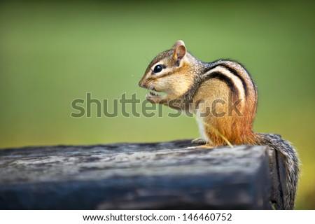 Wild chipmunk sitting on log eating peanut - stock photo