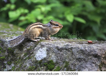 Wild chipmunk with full cheeks crawling for nuts. - stock photo