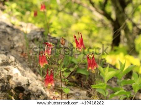 Wild colombune flowers growing on the rocks - stock photo