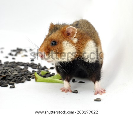 Wild colorful hamster eating sunflower seeds, isolated on a white background - stock photo