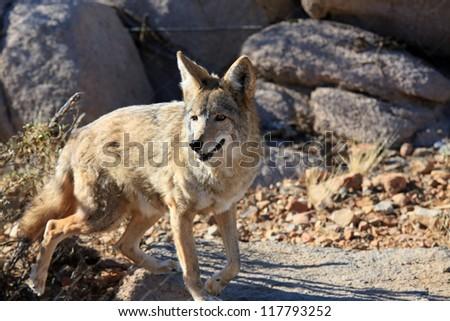 Wild coyote in the desert - stock photo