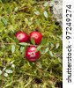 Wild cranberries growing in bog, autumn harvesting - stock photo