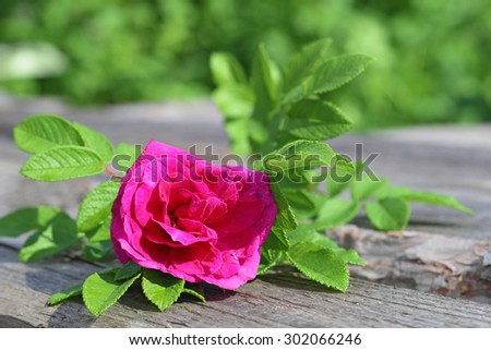 Wild crimson rose with green leaves. Flower of rosehip - stock photo
