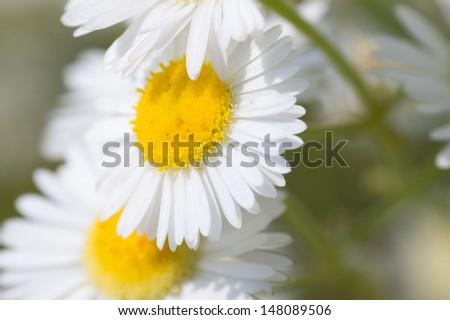 Wild Daisies - stock photo