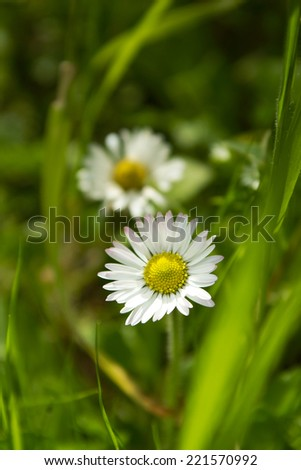Wild daisies at green pasture - stock photo