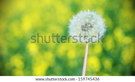 Wild Dandelion in a Field of Flowers - stock photo