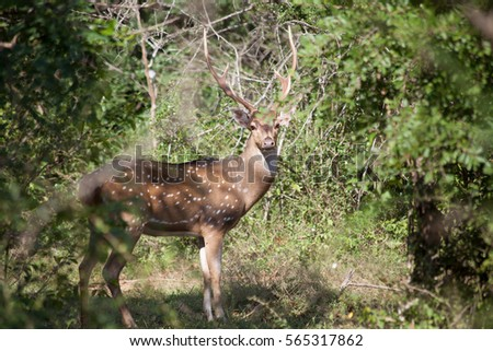 Wild deer - great and beautiful place in paradise. Green trees and plants in the mountain landscape of Sri Lanka. Southern and Uva Provinces, Yala National Park.