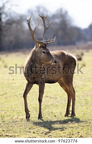 wild deer in alert in a meadow - stock photo