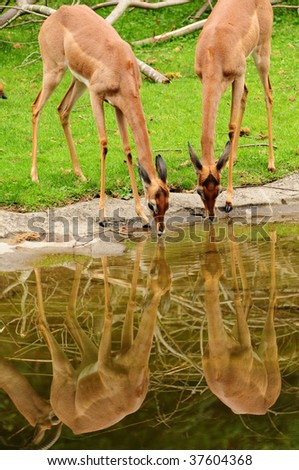 Wild deers drinking water in harmony at the waterhole