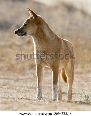 Wild Dingo in outback South Australia - stock photo