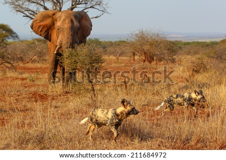 Wild dog and elephant in the bush together, South Africa - stock photo