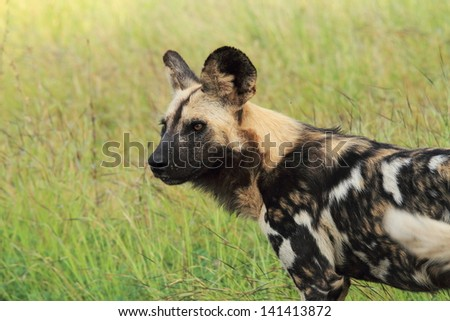 wild dog canine predator carnivorous mammal that lives in African savannas herd kruger national park south africa - stock photo