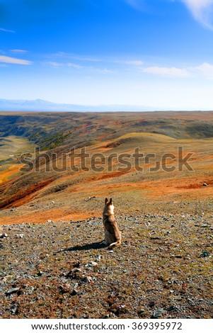 Wild dog in the desert hills in autumn, Altai, Mongolia. - stock photo