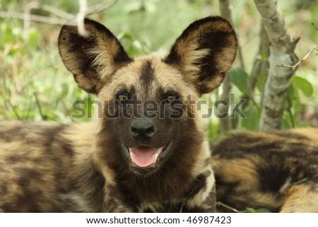 Wild dog looking at camera - stock photo