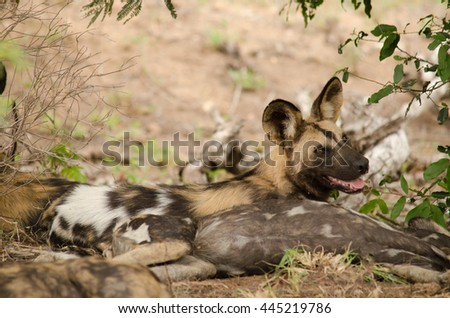 Wild dog looks back and smiles - stock photo