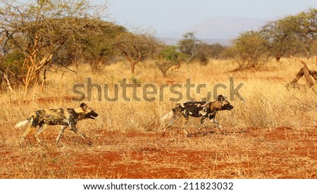Wild dog pair running on red sand, South Africa - stock photo