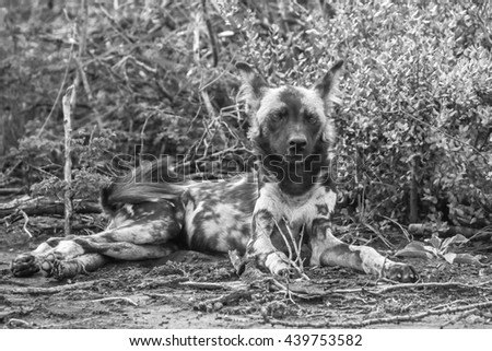 Wild dog resting on the ground with head in air - stock photo