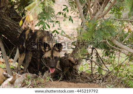 Wild dog staring from under a tree - stock photo