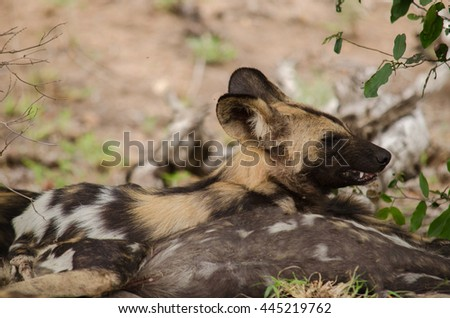 Wild dog wakes up on the wrong side of the bed - stock photo